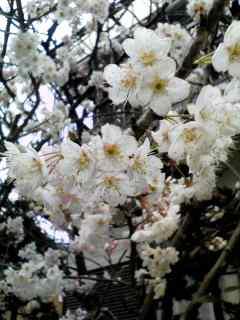 桜(サトウニシキ)開花